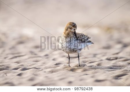 Dunlin Calidris alpina preening itself on the sand