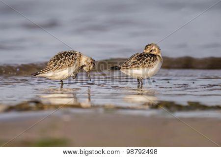 Dunlin Calidris alpina pair standing in the sea