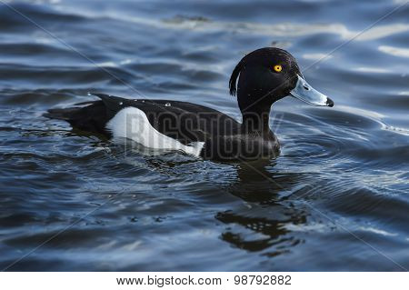 Tufted duck male on a pond close up