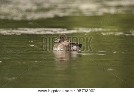 Tufted duck female floating on a pond