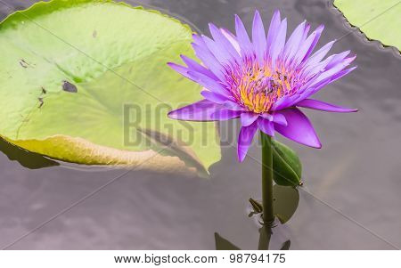 Lotus Flower With Bees