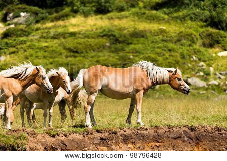 Wild Horses In The National Park Of Adamello Brenta