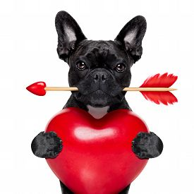 picture of cupid  - valentines french bulldog dog in love holding a cupids arrow with mouth and holding a big heart isolated on white background - JPG