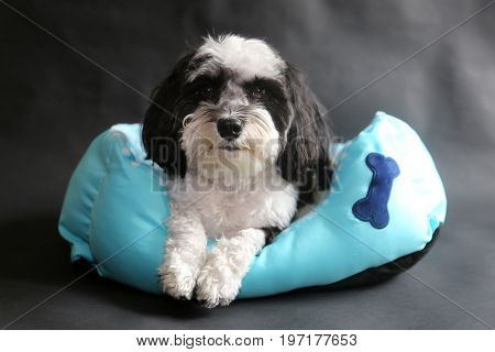 poster of Havanese Dog. Black and White Havanese dog sits in a blue dog bed on a black background.