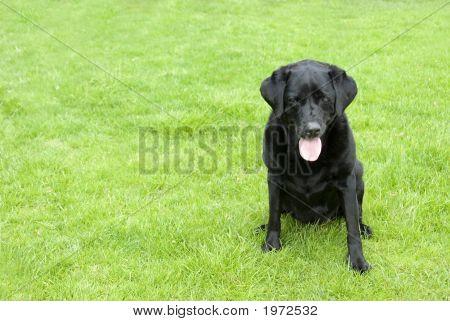 Black Labrador Dog Sitting