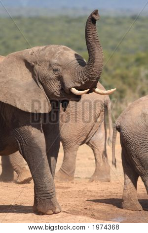 Young Elephant Bull