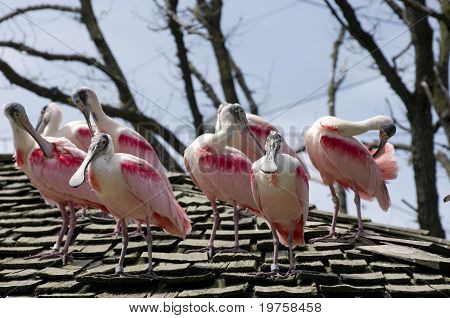 Flock Of Spoonbill Birds On Roof