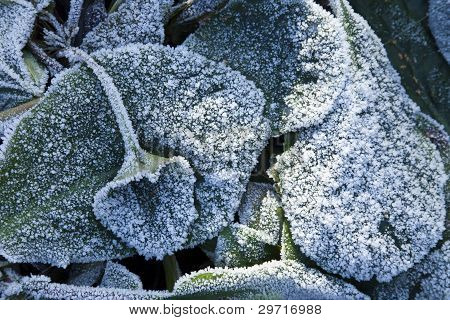 Elephant's Ears Plant In Heavy Frost