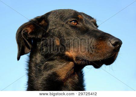 French Shepherd