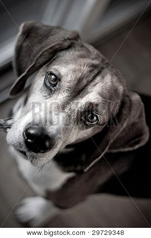 Beagle Hound Dog Portrait