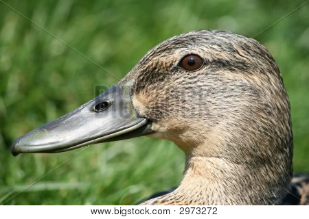 Hen Mallard Duck`s Head