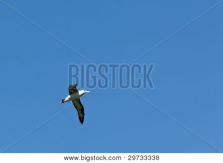 Albatross In Blue Sky
