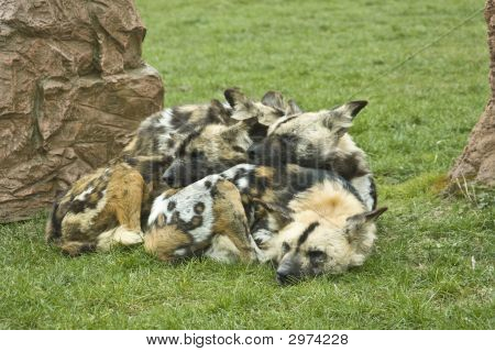 Cozy Spotted Hyenas