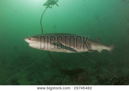 Broadnose Cow Shark