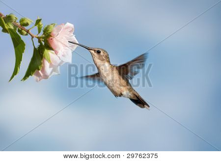 Female Ruby-throated Hummingbird feeding on a pale pink Hibiscus bloom