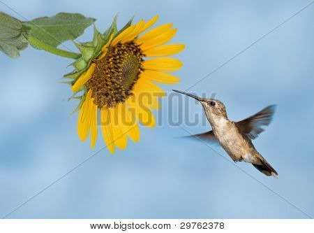 Hummingbird getting ready to feed on a wild sunflower