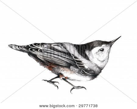 Nuthatch Illustration