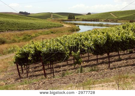 Idyllic Vineyards With A Windy River