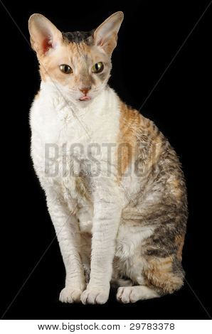 Cute Cornish Rex Cat Showing Its Tongue On Black Background