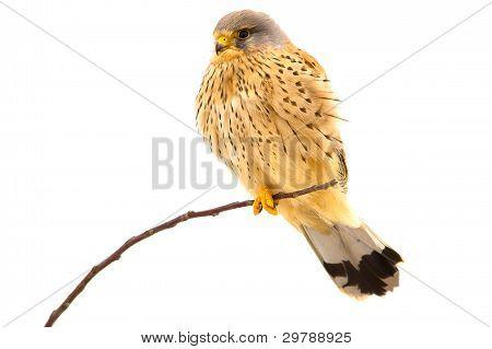 kestrel sitting on a tree branch / Falco tinnunculus