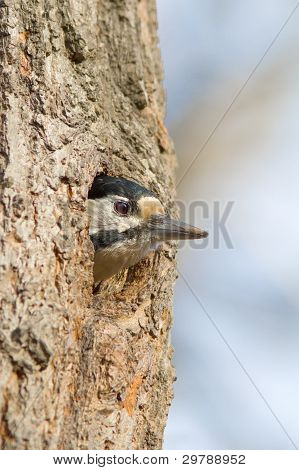 Great spotted woodpecker at his nest / Dendrocopos major