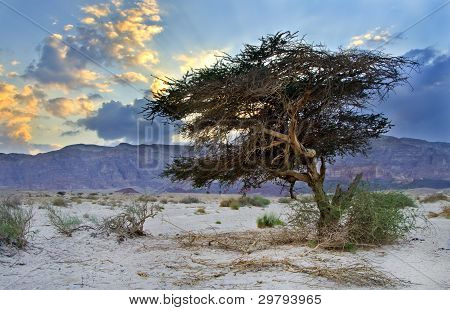 Lonely tree in desert of the Negev, Israel