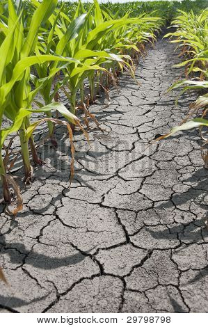 Dry drought stricken farm corn field dirt
