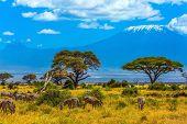 Zebo herd grazing in the savannah at the foot of Kilimanjaro. Safari - tour to the Kenya Amboseli R poster