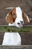 picture of buck teeth  - White and brown goat bleating at a wooden fence - JPG