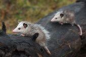 Opossum Joeys (didelphimorphia) Lined Up On Log Autumn - Captive Animals poster