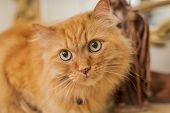 Beautiful ginger long hair cat sitting on table at home poster