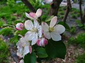Fruit Tree Blossoms In March. Beginning Of Spring. Apple Tree Blossoms. Raceme Of Apple Tree. Blosso poster