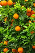 stock photo of orange-tree  - Green leaves and mature oranges on the tree - JPG