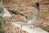 stock photo of beep  - Brown Roadrunner Bird running across the street in Gold Canyon - JPG