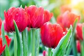 Tulip Flower In Garden At Sunny Summer Or Spring Day. Flower For Postcard Beauty Decoration And Agri poster