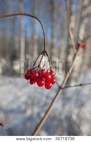Red winter berries in snowy forest, amazing winter nature of Eastern Europe