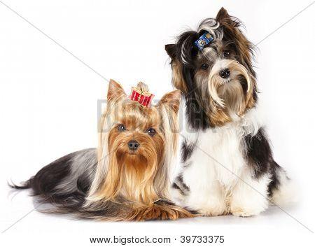 Castor Yorkshire Terrier