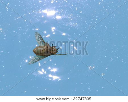 Dead fly on the water