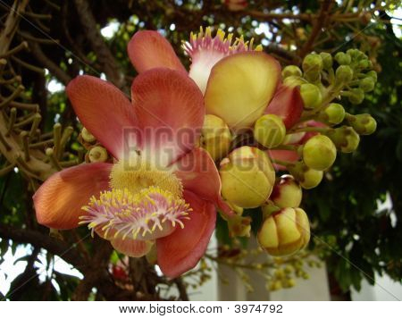 The Flower Of Cannonball Tree