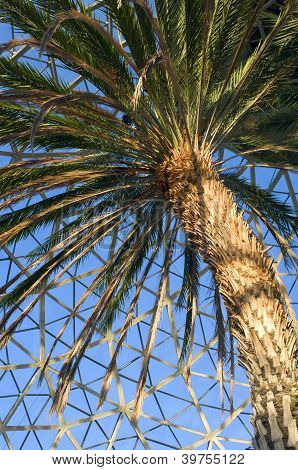 Canary Island Date Palm Tree At Conservatory