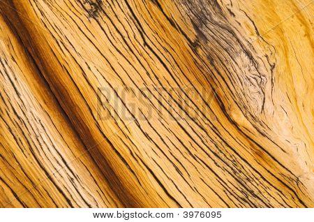 Bristlecone Pine Detail