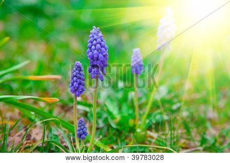 Bluebells Flower With Sunlight (grape Hyacinth, Muscari Armeniacum)