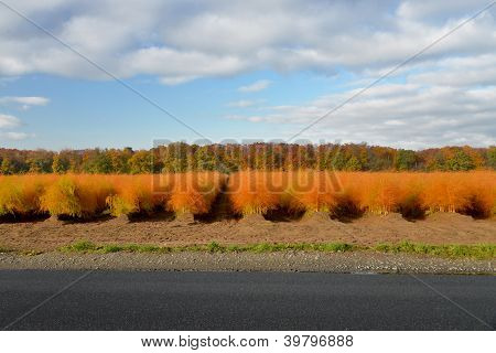 overripe asparagus field