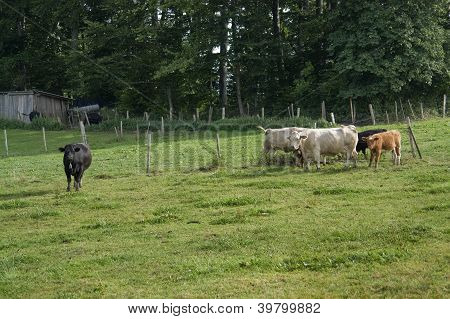 Cattle On Meadow At Summer Time