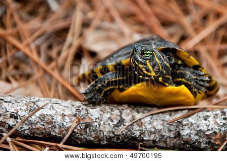 A Yellow-bellied Slider