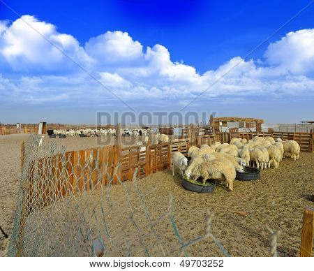 Sheep eat grass with white clouds