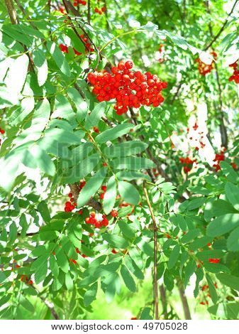 Autumn Rowan Berries Ashberry. Sorbus Aucuparia