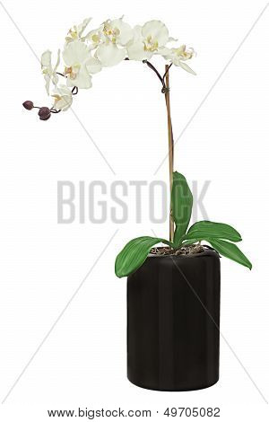 Orchid In Black Flowerpot Isolated On White Background.