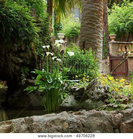 Arum Lilies Growing In A Garden Rock Pool