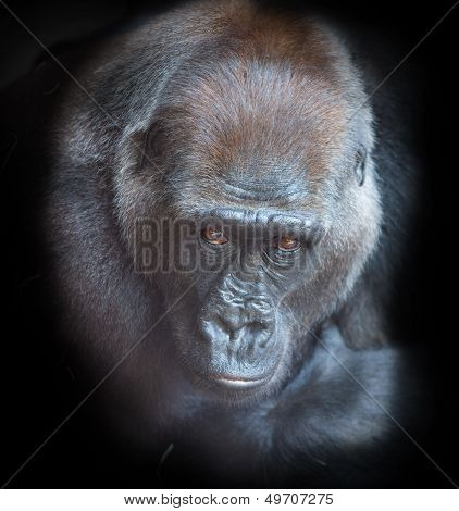 Portrait of an adult gorilla on a black background